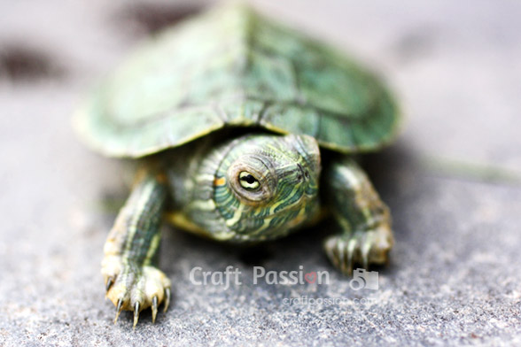 red-ear-slider-turtle-2