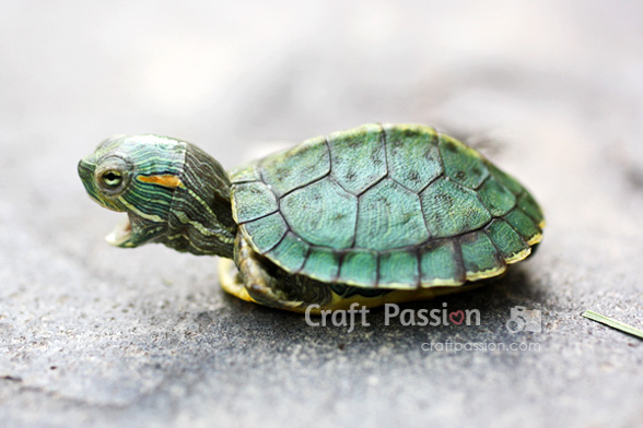 red-ear-slider-turtle